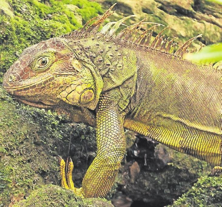 Möchte man die Grünen Leguane entdecken, braucht man viel Geduld und ein gutes Auge.